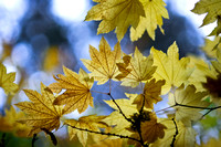 yellow maple on blue