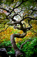 japanese maple twisted form #3